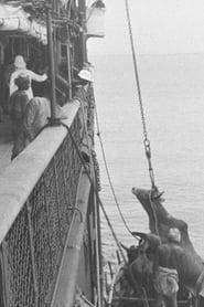 Embarquement d'un boeuf à bord d'un navire