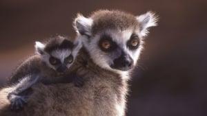 A Lemur's Tale