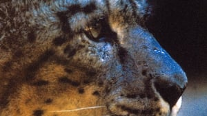 Silent Roar: Searching for the Snow Leopard