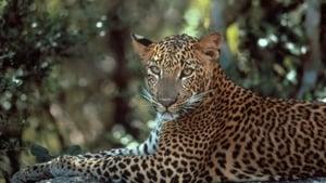 Leopards of Yala