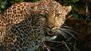 Revealing the Leopard