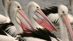 Outback Pelicans