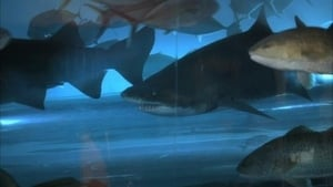 Tiburón fullero
