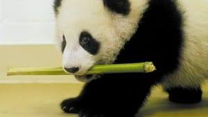 The Panda Baby