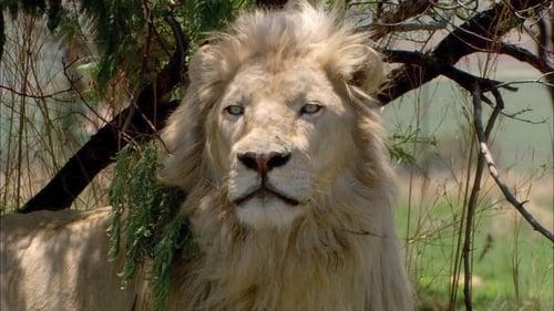 Le Lion blanc de la vallée de Limpopo