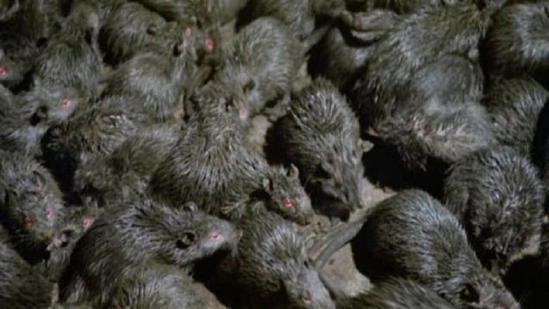 Se Rats på nett gratis
