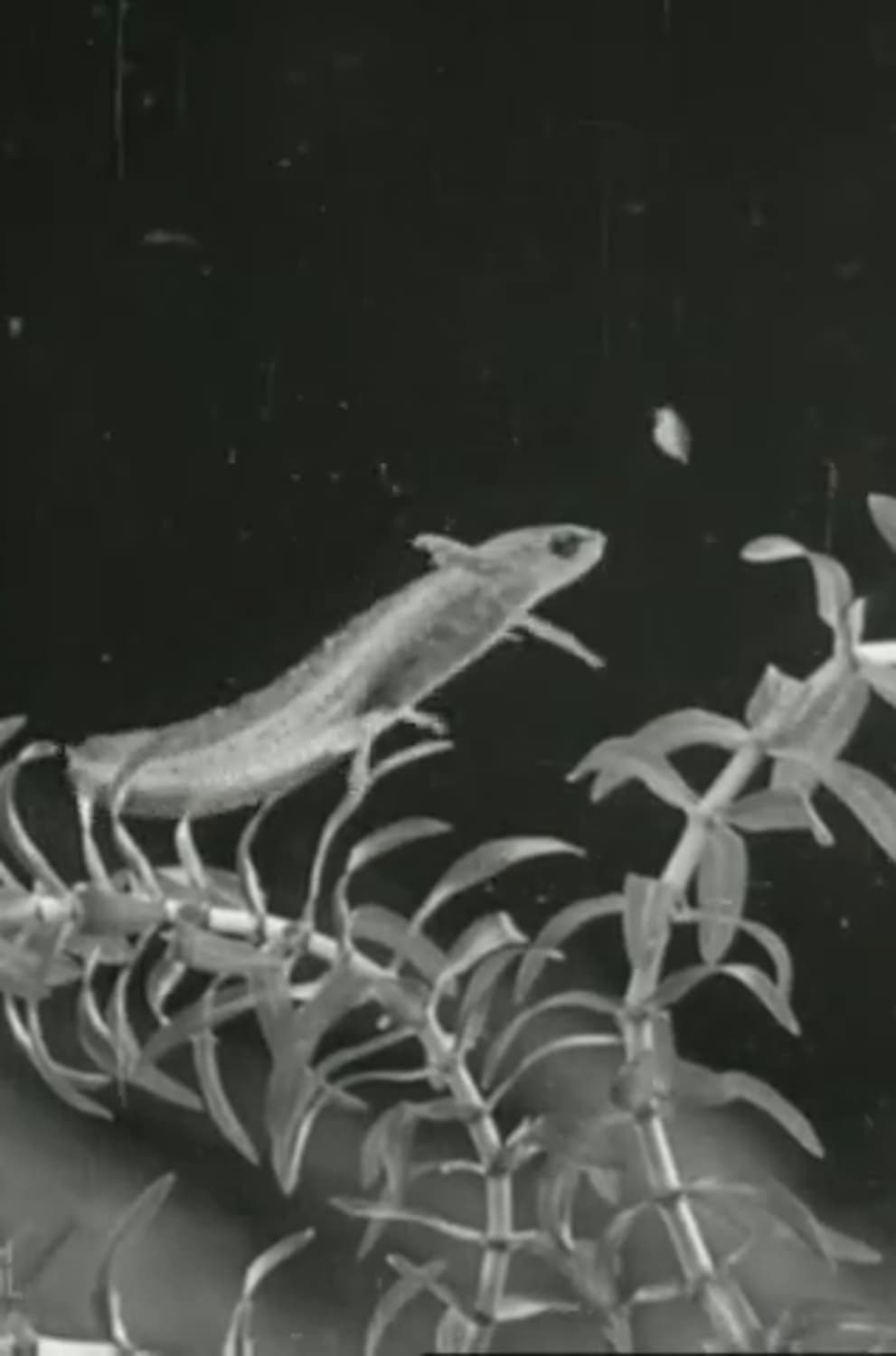 The Life Cycle of the Newt