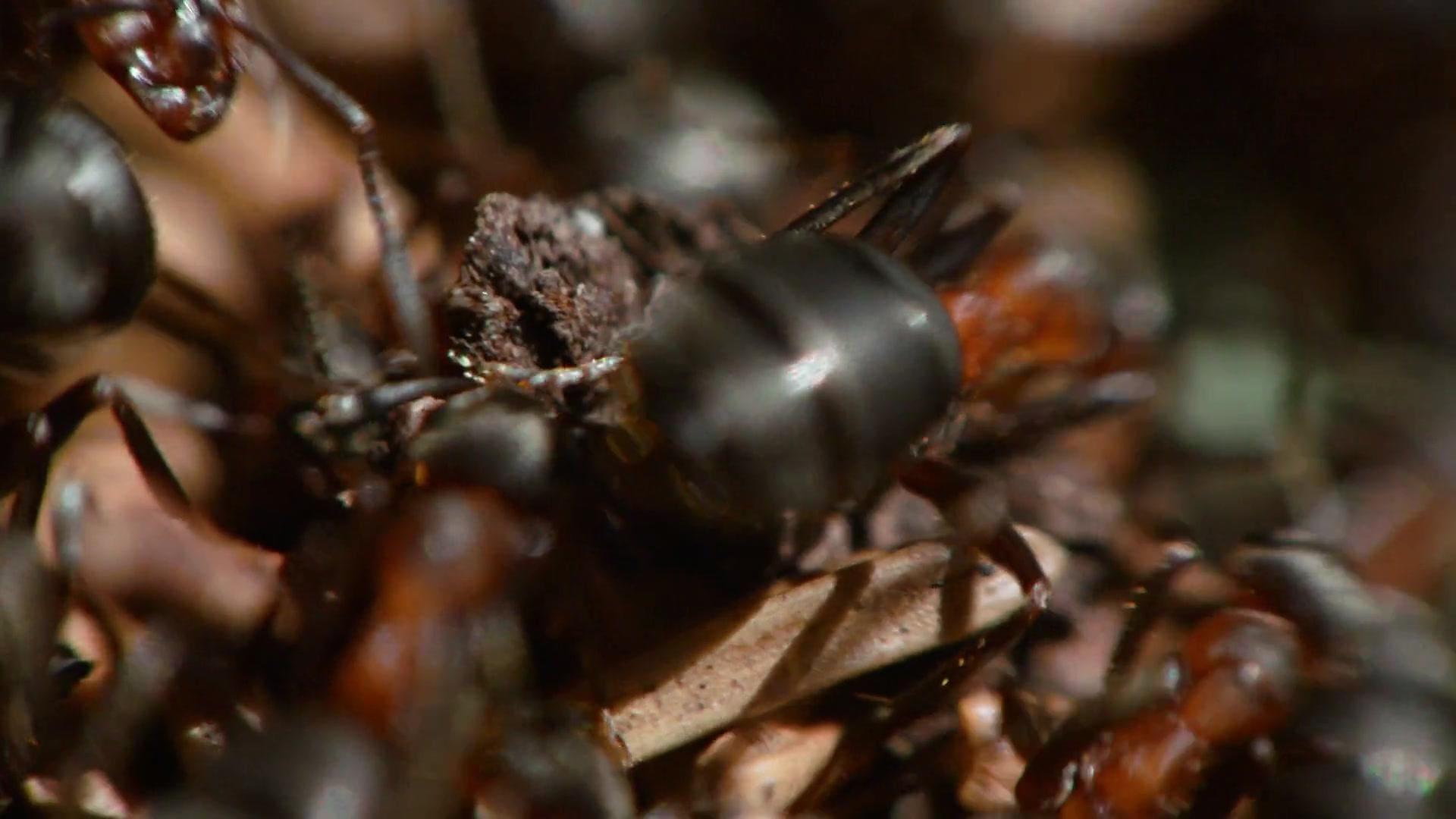 David Attenborough's Ant Mountain