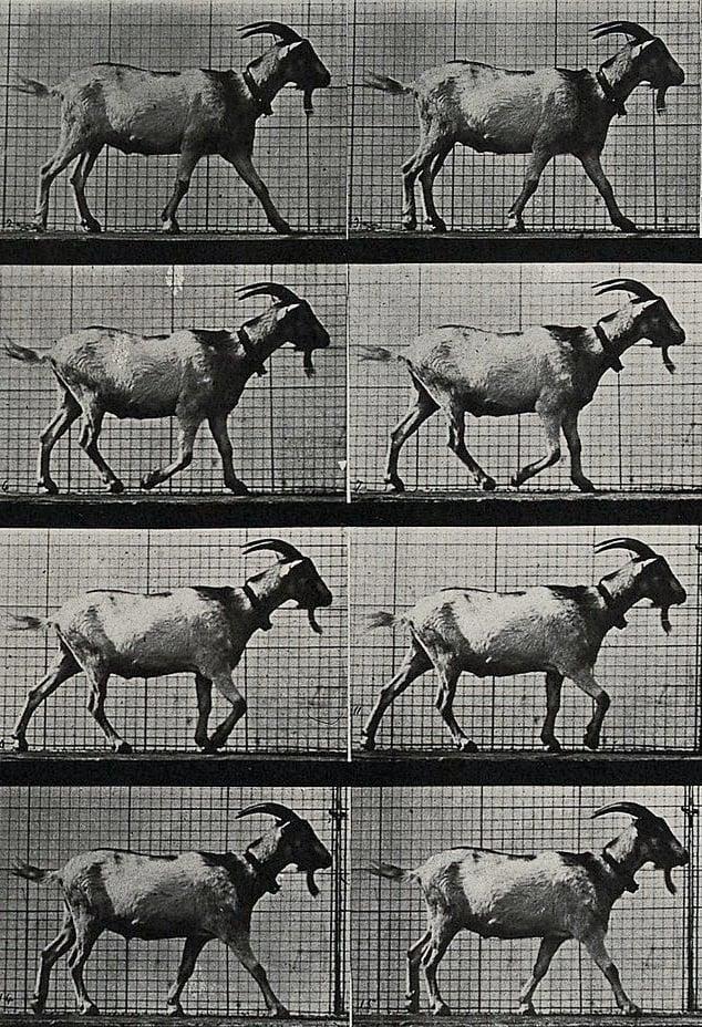 Goat Walking (1970)