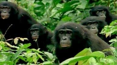 NOVA Season 34 :Episode 9  The Last Great Ape