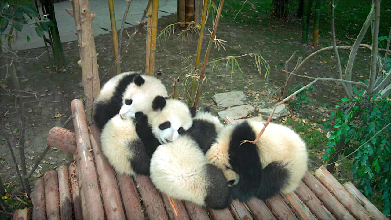 watch pandas online free watch pandas full movie hd