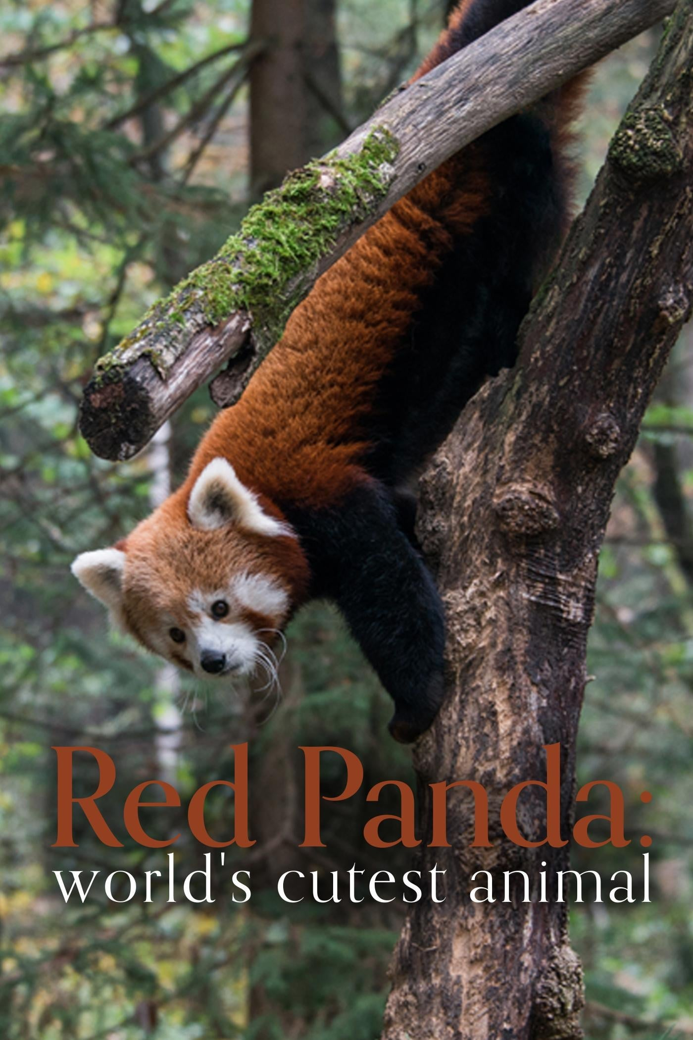 Ver Red Panda: World's Cutest Animal Online HD Español ()