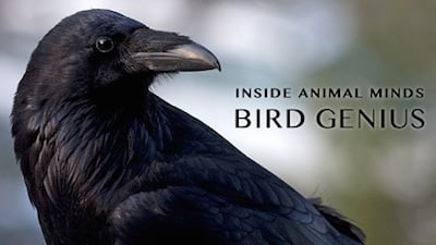 NOVA Season 41 :Episode 17  Inside Animal Minds: Bird Genius