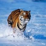 tigriso1