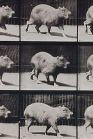 Capybara Walking 1887