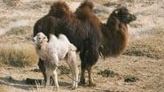 L'Histoire du chameau qui pleure images