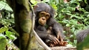 EUROPESE OMROEP | Chimpanzee