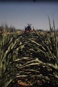 Castrer le Maïs