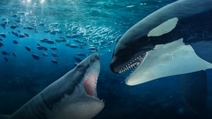 Orca Vs Great White