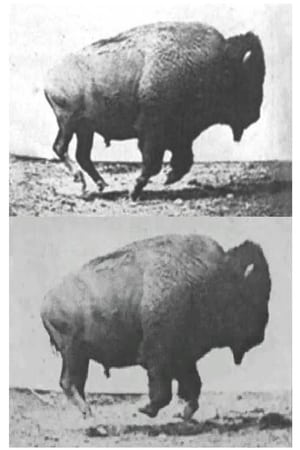 Buffalo Running-Azwaad Movie Database