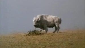 Das Geheimnis des weißen Büffels