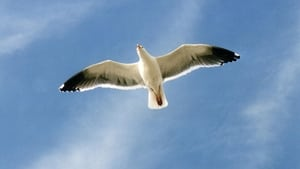 Jonathan Livingston Seagull (1973)