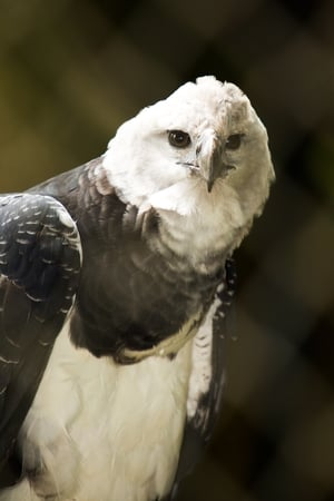 The Monkey-Eating Eagle of the Orinoco streaming