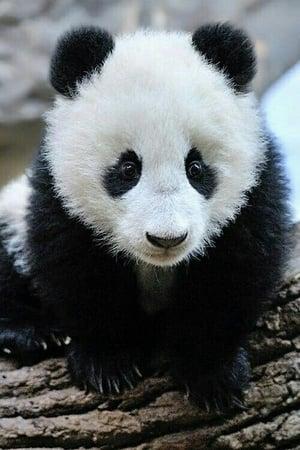 Image Panda Babies
