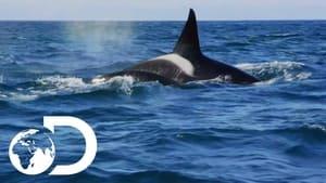 فيلم Killer Whales: the Mega Hunt 2016 مترجم كامل