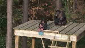 Meet the Chimps