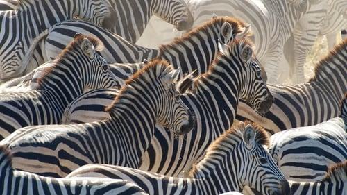 Nature 2013 720p Extended: Season 31 – Episode Great Zebra Exodus