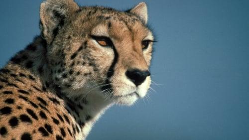 Nature: Season 18 – Episode Cheetahs in a Hot Spot