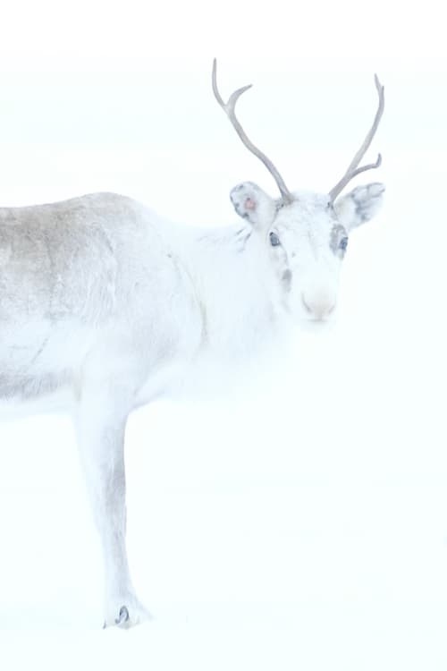 Spirit of the Reindeer