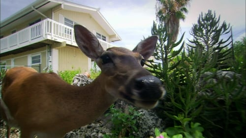 Nature 2013 720p Extended: Season 31 – Episode The Private Life of Deer
