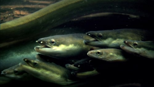 Nature 2013 720p Extended: Season 31 – Episode The Mystery of Eels