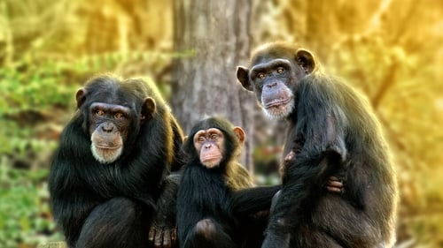 Rencontre avec les Chimpanzés