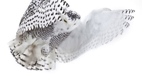Nature 2013 720p Extended: Season 31 – Episode Magic of the Snowy Owl