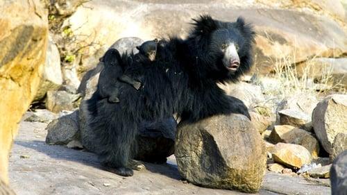Natural World: 2011-2012 – Épisode The Real Jungle Book Bear