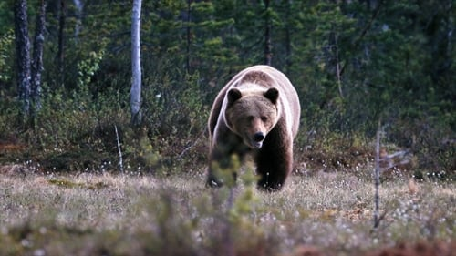 Vetenskapens värld: Season 2019 – Episode Superpowers of bears