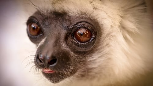 Natural World: 2011-2012 – Épisode Madagascar, Lemurs and Spies
