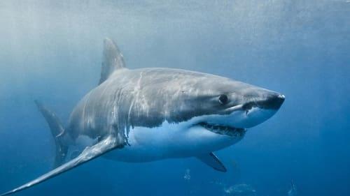 Envoy: Shark Cull Watch Movie