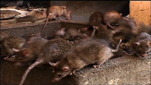 NOVA: Season 36 – Episode Rat Attack
