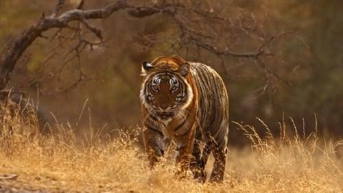 Natural World: 2011-2012 – Épisode Tiger Dynasty