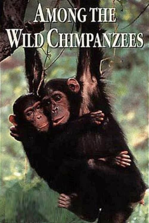 WATCH LIVE Among the Wild Chimpanzees
