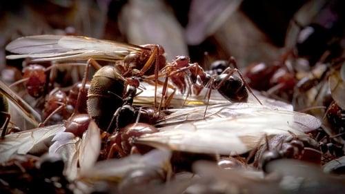 Natural World: 2011-2012 – Épisode Empire of the Desert Ants