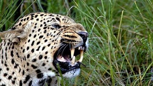 Natural World 2010 1080p Retail: 2009-2010 – Episode The Secret Leopards