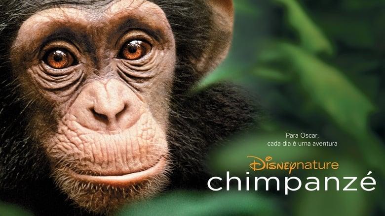 שימפנזה / Chimpanzee לצפייה ישירה