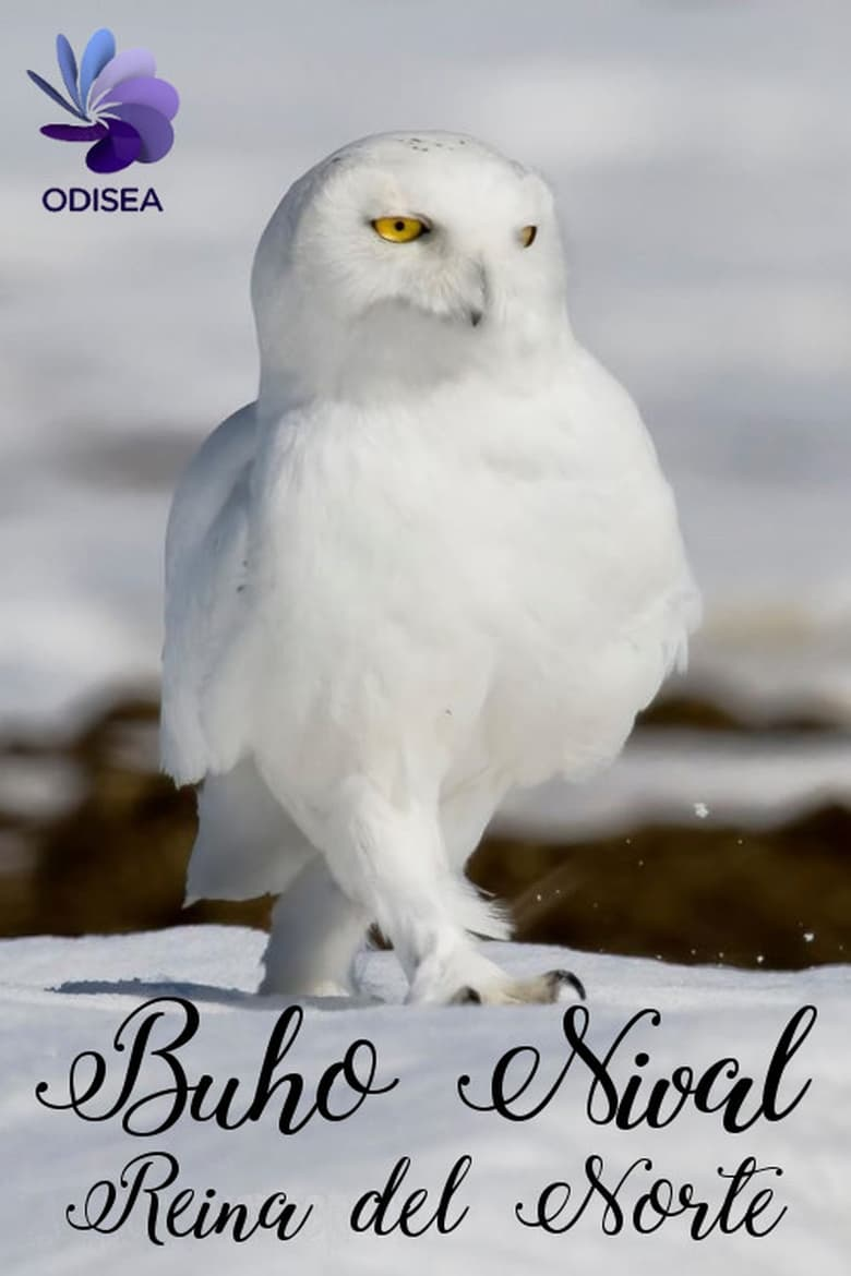 Snowy Owl, queen of the North