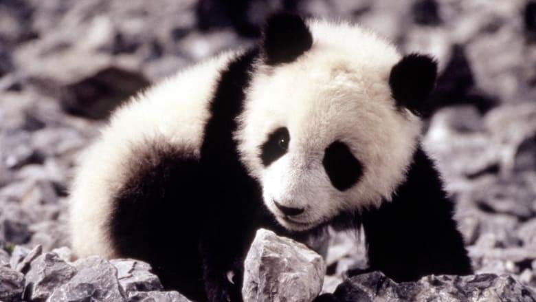 Piccolo+panda