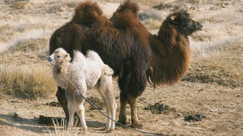La+storia+del+cammello+che+piange